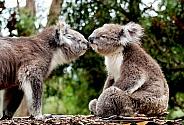 Koala Kiss