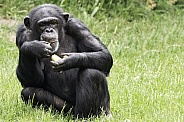Chimpanzee Full Body Sitting Up Eating