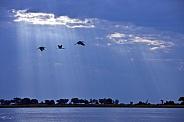 Yellowbilled Storks - Botswana