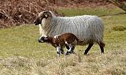 Drenthe Heath sheep