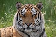 Siberian Tiger(Panthera Tigris Altaica)