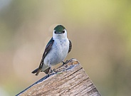 Violet-green Swallow Sitting Still