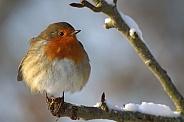 European Robin