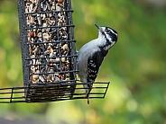Male Downy Woodpecker in Alaska