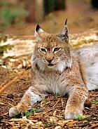 Lying Lynx
