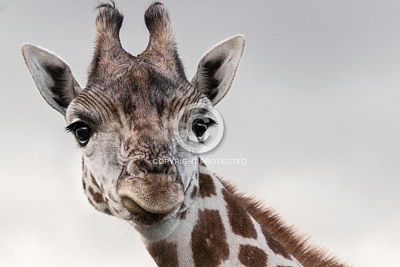 Giraffe Looking Forward Ears Out