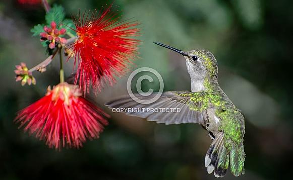 Hummingbird and Fairy Duster
