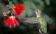 Hummingbird and Fairy Duster