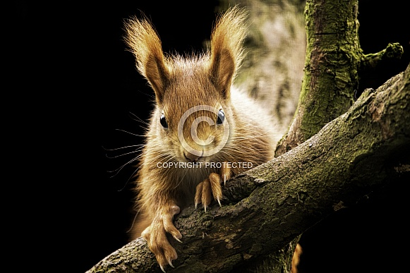 Red Squirrel Full Body Looking Over Branch