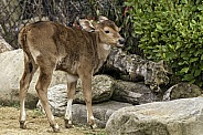 Banteng Calf Full Body