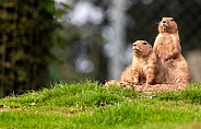 Two Prairie Dogs Standing Upright Together