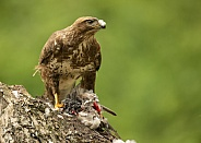Wild Common Buzzard on Wood Pigeon Carcass