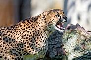 Cheetah Growling
