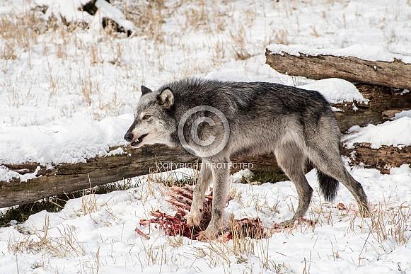 Tundra Wolf