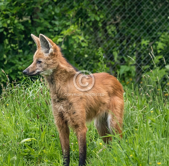 Dhole. Asiatic Wild Dog