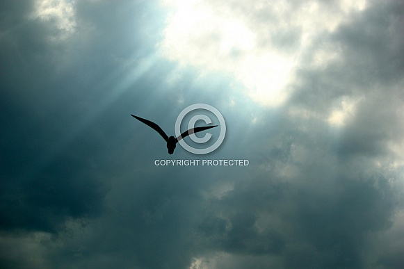 Silhouette of a Laughing Gull