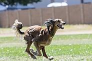 Saluki hound dog chasing a lure