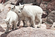 Wild mountain goat kids