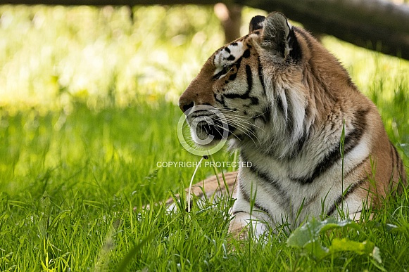 Amur Tiger In Grass Side Profile
