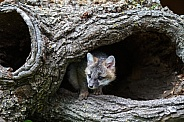 Red Fox Kit peeks out of a burrell