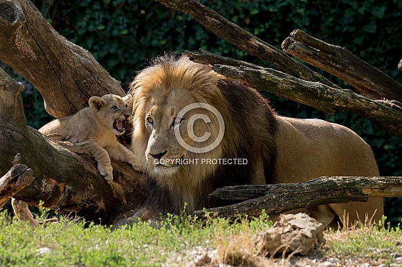 African Lion and Cub