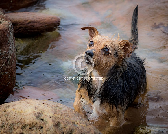 Terrier in Sea