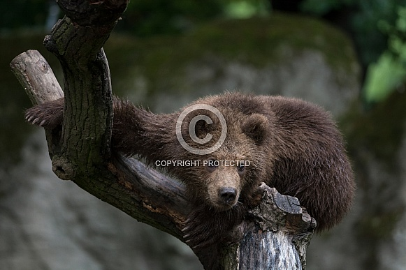 Brown Bear - Kamtschatka Bear