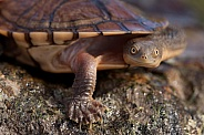 Eastern snake-necked turtle.