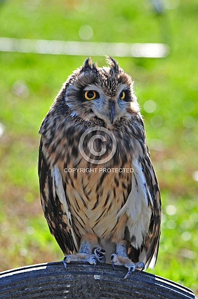 Short-eared Owl / Asio flammeus