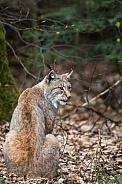 Lynx looking back