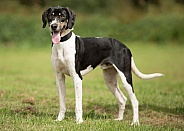 Black and White Trailhound