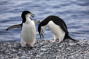 Chinstrap Penguins (Pygoscelis antarcticus)