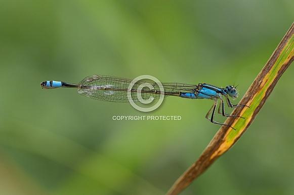 Common Bluetail Damselfly.