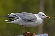 Common Mew Gull Perched on a Post