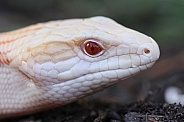 Albino Blue Tongue Lizard