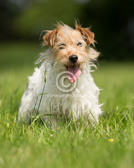 Long-haired Jack Russell Terrier