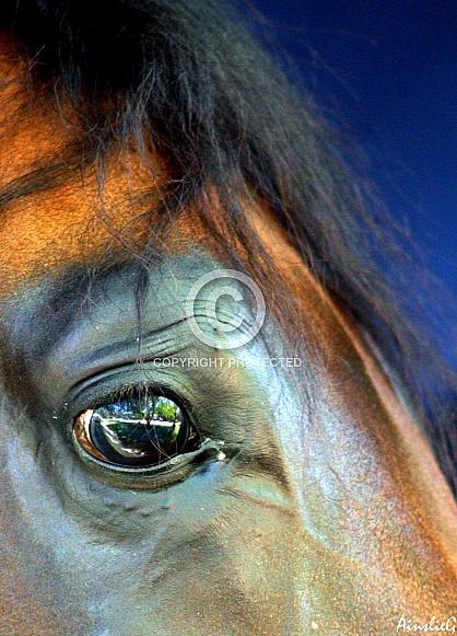 Arabian Stallion Eye Study