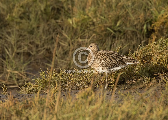 Curlew Portrait