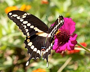 Giant Swallowtail feeding on zinnia flowers