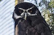 Malaysian wood owl, close up looking forward