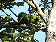 White-eyed Parakeet