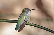 Costa's Hummingbird (Female)