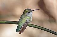 Costa's Hummingbird (Female)