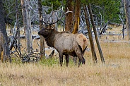 Bull Elk in the Woods