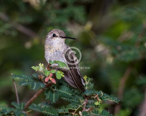 Juvenile Costa's Hummingbird