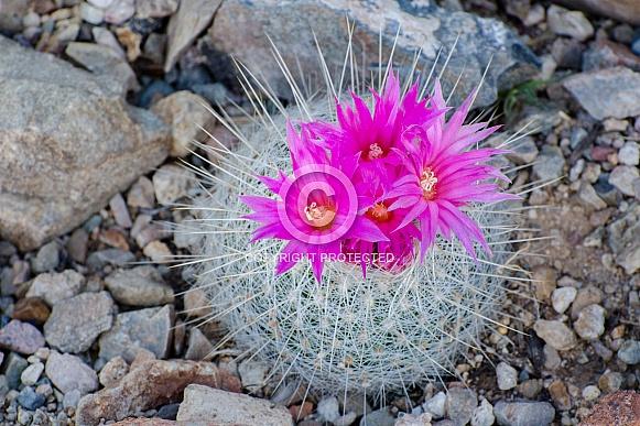 Barrel Cactus in Full Bloom