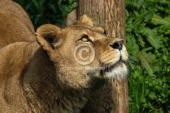 Female lion, close up, side profile