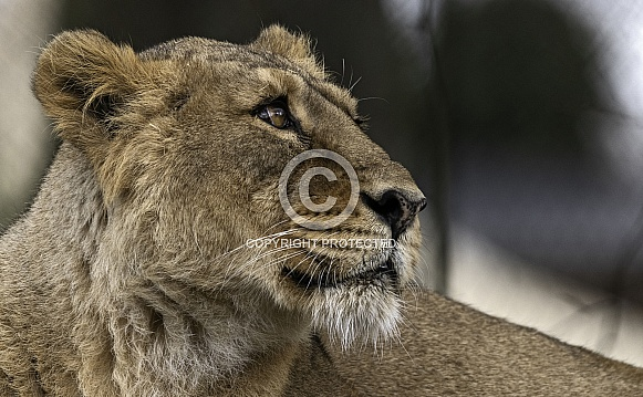 Asiatic Lion Side Profile Face Shot