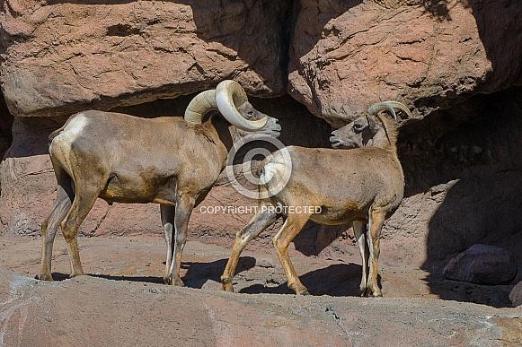 Bighorn Sheep - Ram approaching Ewe