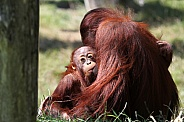 A baby orangutan is drinking milk from his mother